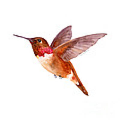 Rufous Hummingbird Poster by Amy Kirkpatrick