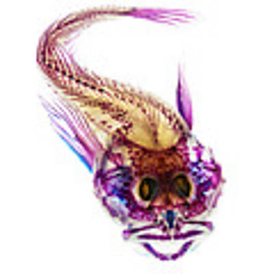 Scalyhead Sculpin Poster by Adam Summers