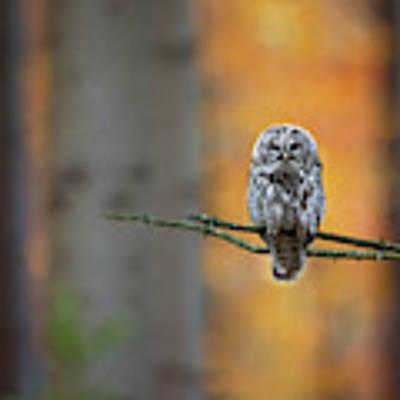 Tawny Owl Poster by Milan Zygmunt