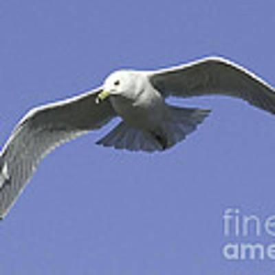 White Seagull In Flight Poster by Mae Wertz