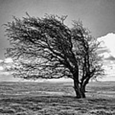 Windswept Tree On Knapp Hill Poster by Paul Gulliver