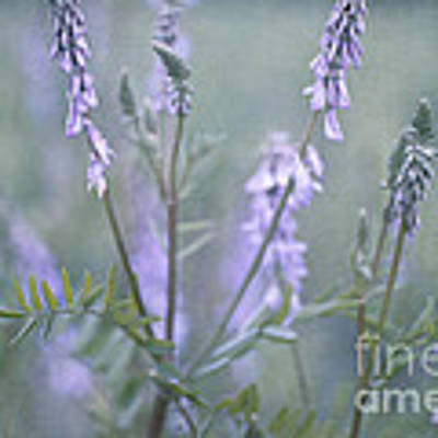 Blue Vervain Poster