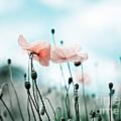 Poppy Flowers 02 Poster by Nailia Schwarz