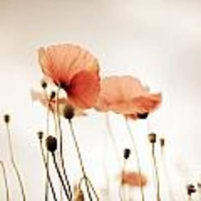 Poppy Flowers 14 Poster by Nailia Schwarz