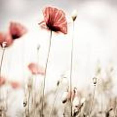 Poppy Flowers 15 Poster by Nailia Schwarz