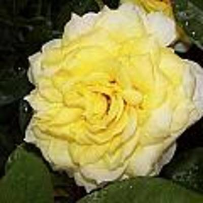 Yellow Rose Poster by Ralph Jones