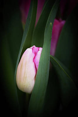 Poster featuring the photograph  A Pink Tulip  by Catherine Lau