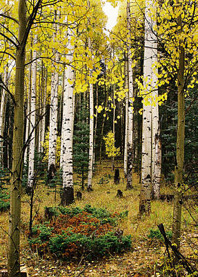 Aspen Grove In Upper Red River Valley Poster