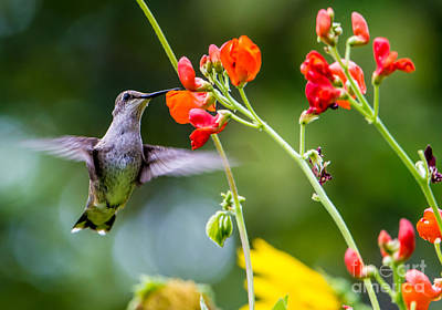 Broad-tailed Hummingbird 4 - Utah Poster by Gary Whitton