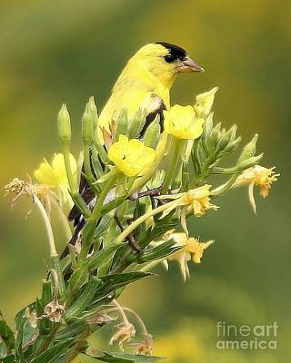 Poster featuring the photograph  Goldfinch by Debbie Stahre