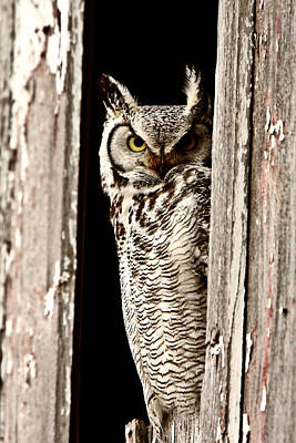Great Horned Owl Perched In Barn Window Poster