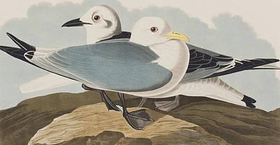 Kittiwake Gull Poster by John James Audubon