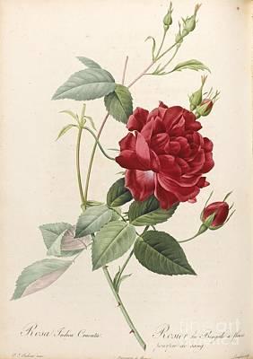 Les Roses. Paris Firmin Didot Poster