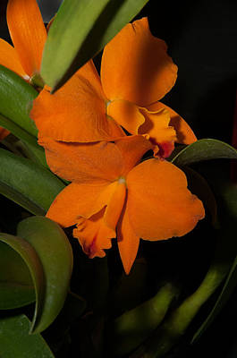 Cattleya Style Orchids Poster by Carol Ailles