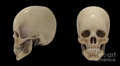 3d Rendering Of Human Skull Poster by Stocktrek Images