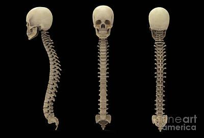 3d Rendering Of Human Vertebral Column Poster by Stocktrek Images