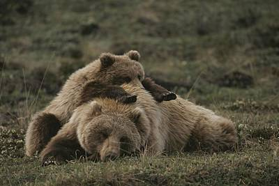 A Grizzly Mother And Her Cub Lounge Poster