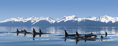 A Group Of Orca  Killer  Whales Come Poster by John Hyde
