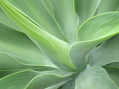 Agave Attenuata Abstract Poster