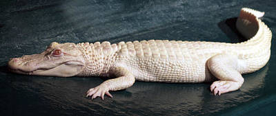 Albino Alligator Poster