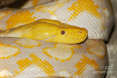 Albino Reticulated Python Poster