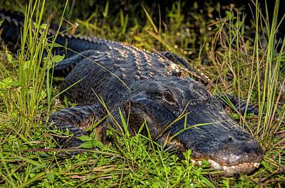 Alligator Close Up On Everglades Poster by Rodolfo Gimenez