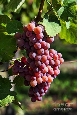 Alsace Vineyards Poster