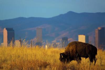 American Bison And Denver Skyline Poster by John De Bord