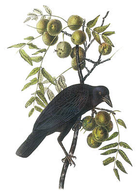 American Crow Poster by John James Audubon