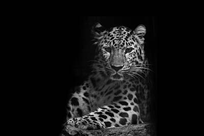 Amur Leopard Poster by Stephanie McDowell