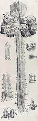 Anatomia Humani Corporis, Table 10, 1690 Poster