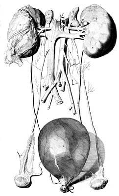 Anatomia Humani Corporis, Table 42, 1690 Poster