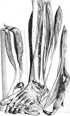 Anatomia Humani Corporis, Table 82, 1690 Poster