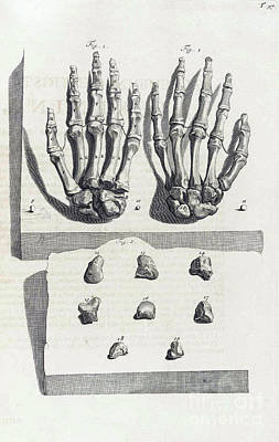 Anatomia Humani Corporis, Table 97, 1690 Poster by Science Source