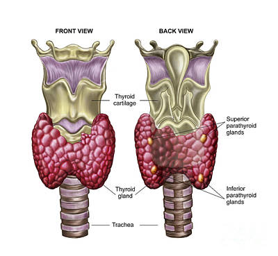 Anatomy Of Thyroid Gland With Larynx & Poster