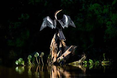 Anhinga Anhinga Anhinga, Pantanal Poster by Panoramic Images