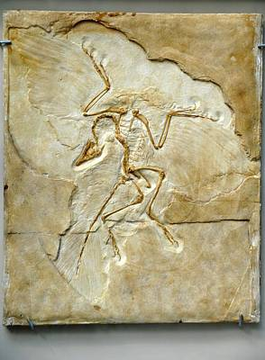 Archaeopteryx Fossil, Berlin Specimen Poster by Chris Hellier