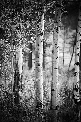 Aspen Trees In Black And White Poster by Vishwanath Bhat