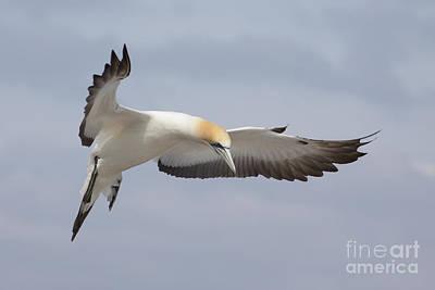 Australasian Gannet In Flight Poster