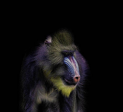Baboon Portrait Poster by Martin Newman