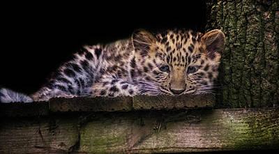 Baby Amur Leopard Poster