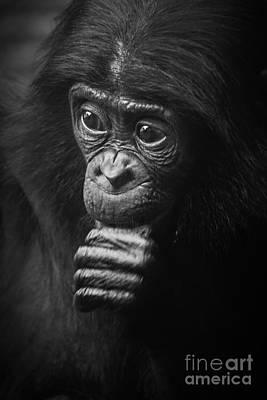 Baby Bonobo Portrait Poster by Helga Koehrer-Wagner