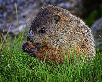 Baby Groundhog Eating Poster