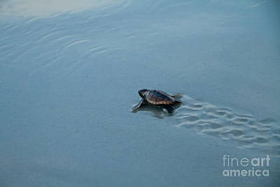 Baby Loggerhead Sea Turtle Poster