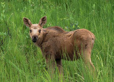 Baby Moose In The Grass Poster