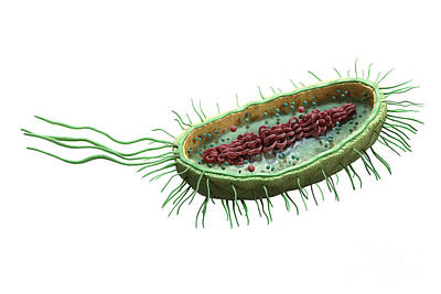 Bacteria Cross Section Poster