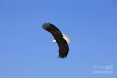 Bald Eagle In Flight Poster by John Hyde - Printscapes