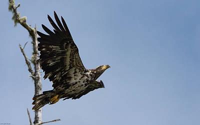 Bald Eaglet Poster