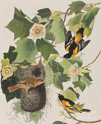 Baltimore Oriole Poster by John James Audubon