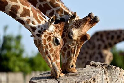 Baringo Giraffes Poster by George Atsametakis